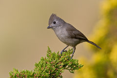Oak Titmouse (Baeolophus inomatus) Royalty Free Stock Images