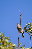 Oak Titmouse, Baeolophus inornatus Royalty Free Stock Photos