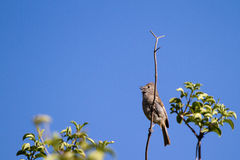 Oak Titmouse, Baeolophus inornatus Royalty Free Stock Photography