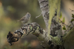 Oak Titmouse. An oak titmouse rests on an oak tree branch in Monterey Bay, California royalty free stock photography