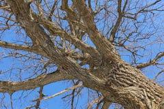 oak Trädstam, nedersta sikt Natur i vintersäsongen mot den blåa skyen Filialer och stammen skapar en abstrakt modell arkivfoto