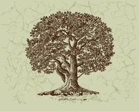 Free Oak Tree Royalty Free Stock Images - 10704469