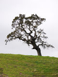 Oak tree. Lone oak tree against sky, green grass in foreground Stock Images