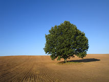 Oak tree royalty free stock photos