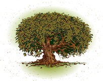 Oak Tree. Vector illustration of oak tree isolated on white backgound. Additional file format Illustrator 8 eps vector illustration