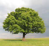 Oak tree Royalty Free Stock Photo
