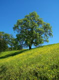 Oak Tree. Blue Oak tree in spring on a grassy wildflower-strewn hillside Stock Photography