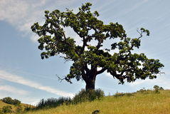 Oak Tree. Old oak tree on the hill royalty free stock images