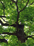 The oak tree. Big old oak in summer Stock Photos