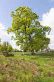 Oak tree Royalty Free Stock Images