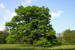Oak tree. In the meadow Royalty Free Stock Photo