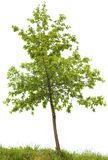 Oak tree Stock Images