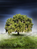 Oak tree. A large oak tree in a grassy pasture in the early morning hours with mists rising from teh grass.  Concept for natures power Royalty Free Stock Photography