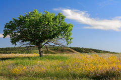 Oak tree. Royalty Free Stock Images