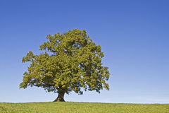 Oak tree. Standing alone on a green meadow Royalty Free Stock Photos
