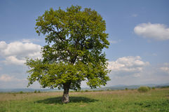 Oak tree Stock Photography