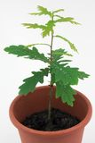 Oak tree. Young oak tree in a pot with water drops Stock Photo