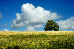 Oak tree. A large spectacular oak tree in a grassy field with a bright sunny sky Royalty Free Stock Photo
