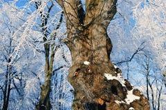 Free Oak Tree Royalty Free Stock Photography - 28009007