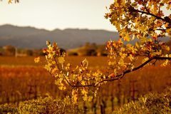 Oak Tree sunset Napa valley. In wine country a old oak tree sits in the soft autumn light in front of a background of rows of grape vines Royalty Free Stock Photo