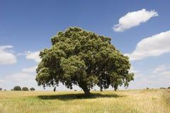 Oak tree. In sunny day Stock Photos