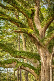 Oak Tree Stock Image