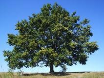Free Oak Tree Royalty Free Stock Photo - 4524545