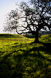 Oak tree. A silhouette of a oak tree at point mugu state park in the santa monica Mountain, california. usa Stock Photo