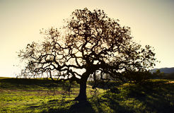 Oak tree. A silhouette of a oak tree at point mugu state park in the santa monica Mountain, california. usa Royalty Free Stock Images