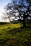 Oak tree Stock Photos