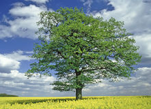 Oak Tree. Single oak tree farmland with yellow oil seed canola rape crop in flower Royalty Free Stock Photos