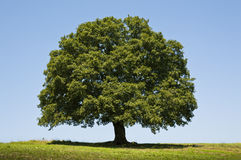 Free Oak Tree Royalty Free Stock Photos - 56467968