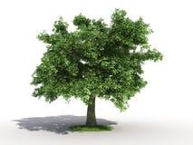 Oak tree. 3d rendering of an isolated oak tree stock illustration