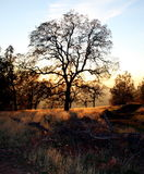 Oak Tree. This is an beautiful oak tree standing alone by my brother's house on Stanfield Hill at Collins Lake, Oregon House, California – in northern Royalty Free Stock Images