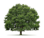 Oak tree. Isolated on white background Royalty Free Stock Photos