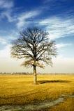 Oak Tree. Bare oak tree in the middle of a field Stock Photo