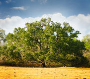 Oak tree. A large beautiful oak tree on a golden dry grassy field Stock Image