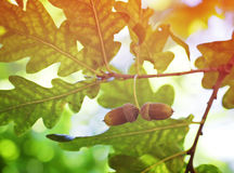 Oak tree and acorns Stock Photography