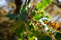 Oak tree with acorns. And some yellowing leaves at the beginning of autumn Royalty Free Stock Photo
