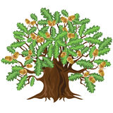 Oak tree with acorns, vector illustration Royalty Free Stock Images