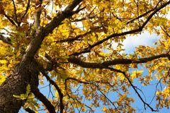 Oak tree against the sky. Oak tree with colored leaves on a background of blue sky Stock Photos