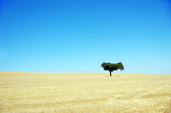 Oak tree, Alentejo Stock Photography