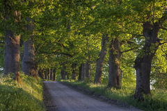 Oak tree alley along country road at sunse Royalty Free Stock Photos