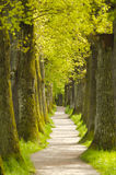Oak tree alley with footpath Stock Photography