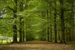 Oak tree alley with path Stock Photos