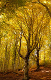 Oak tree in autumn Stock Image