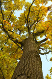 Oak tree in autumn Royalty Free Stock Photography