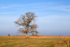 Oak tree in autumn Stock Photography