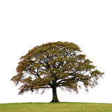Oak Tree In Autumn. Oak tree in a field autumn, isolated over white background Royalty Free Stock Images
