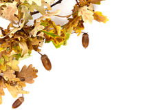 Oak Tree Autumn Border Royalty Free Stock Photo